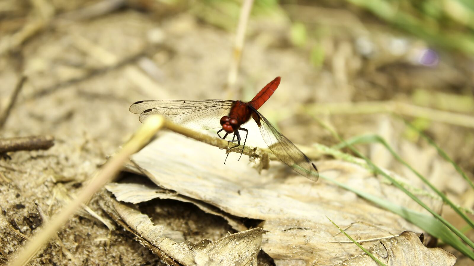 """Canon EOS 600D (Rebel EOS T3i / EOS Kiss X5) sample photo. """"Dragonfly, animal, insect"""" photography"""