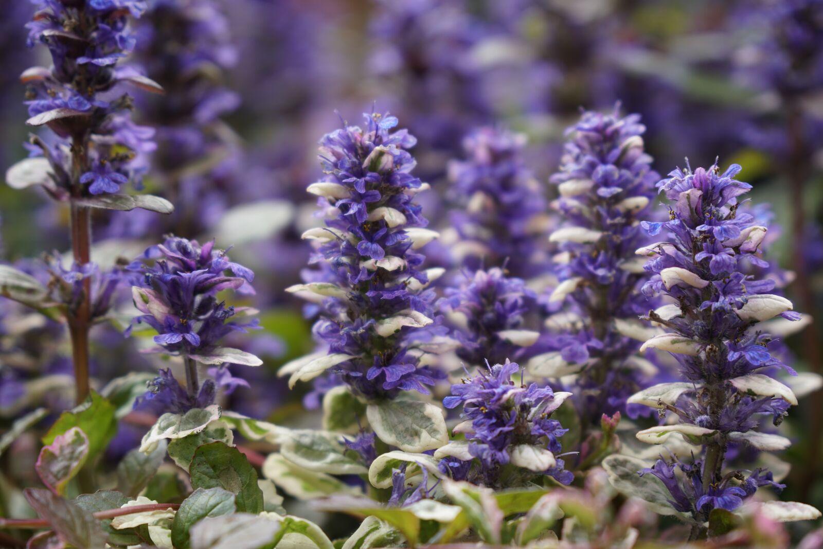 "Sony a6500 sample photo. ""Purple plant, plant, blossom"" photography"