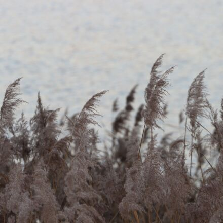 water, reed, lake, Canon EOS 700D