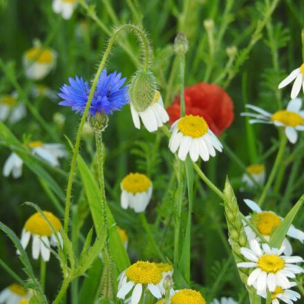 meadow, chamomile, cornflower, Nikon COOLPIX P900