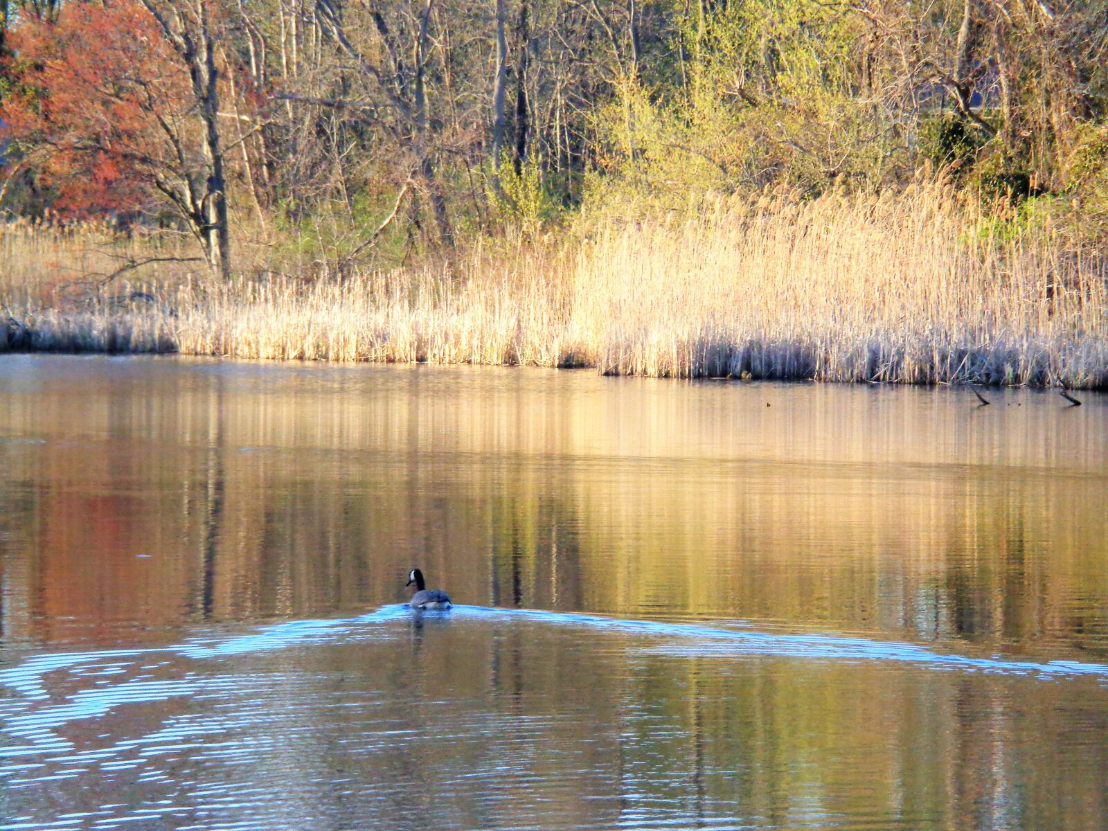 """Sony DSC-W690 sample photo. """"Goose, water, autumn"""" photography"""