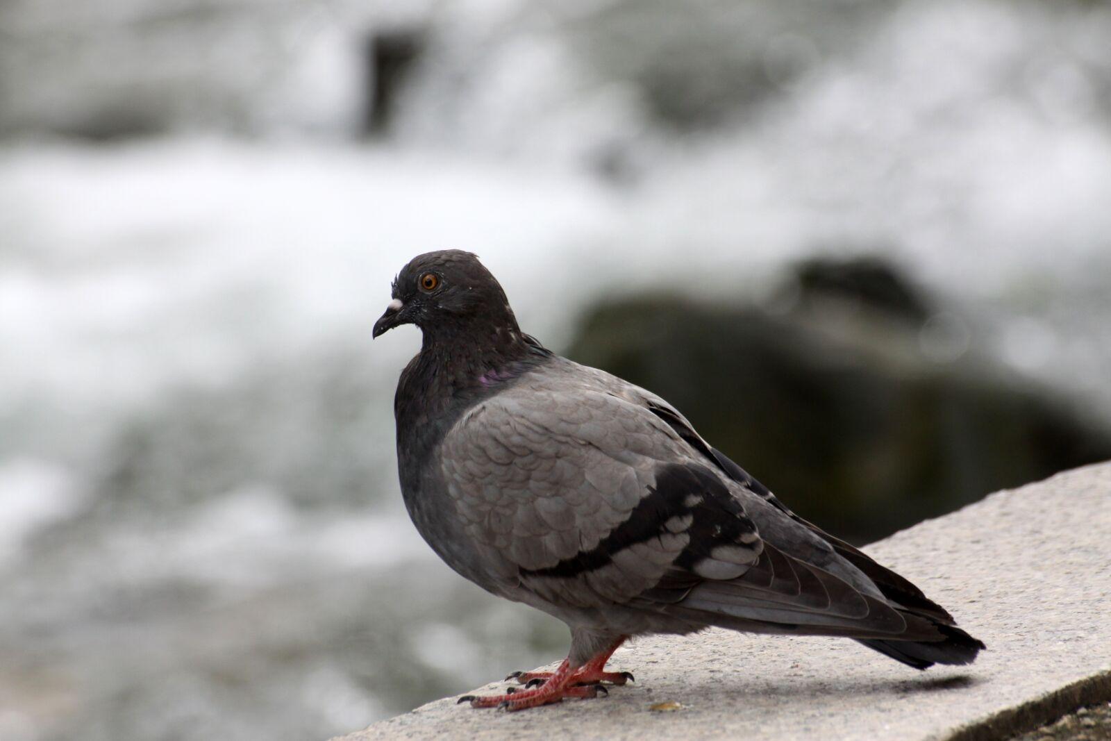 "Canon EOS 50D sample photo. ""Pigeon, new, birds"" photography"