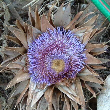 artichoke, flower, nature, Fujifilm FinePix S602 ZOOM