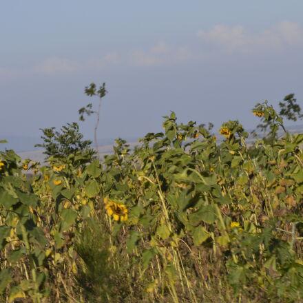 sunflower, Nikon D3200